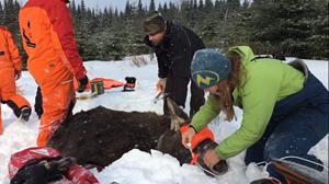 Michelle Oakley, Ph. D., travaille avec l'équipe pour veiller aux bons soins des animaux. Elle occupe le poste de vétérinaire du National Geographic pour le Yukon.