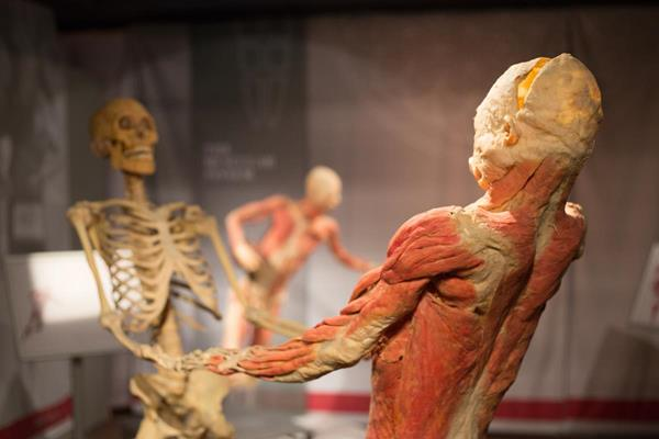 """""""This specimen comes from one body. The skeletal muscles were removed to demonstrate how they cover the skeleton like a perfect skin. The pose of this specimen is also a graphical example of how the skeleton and skeletal muscles rely on one another for support and movement."""" -Imagine Exhibition   Image Courtesy Of: Imagine Exhibition"""
