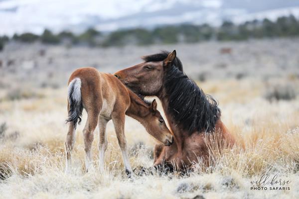 Onaqui mare and foal on federal lands | Photo: Jen Rogers, Wild Horse Photo Safari