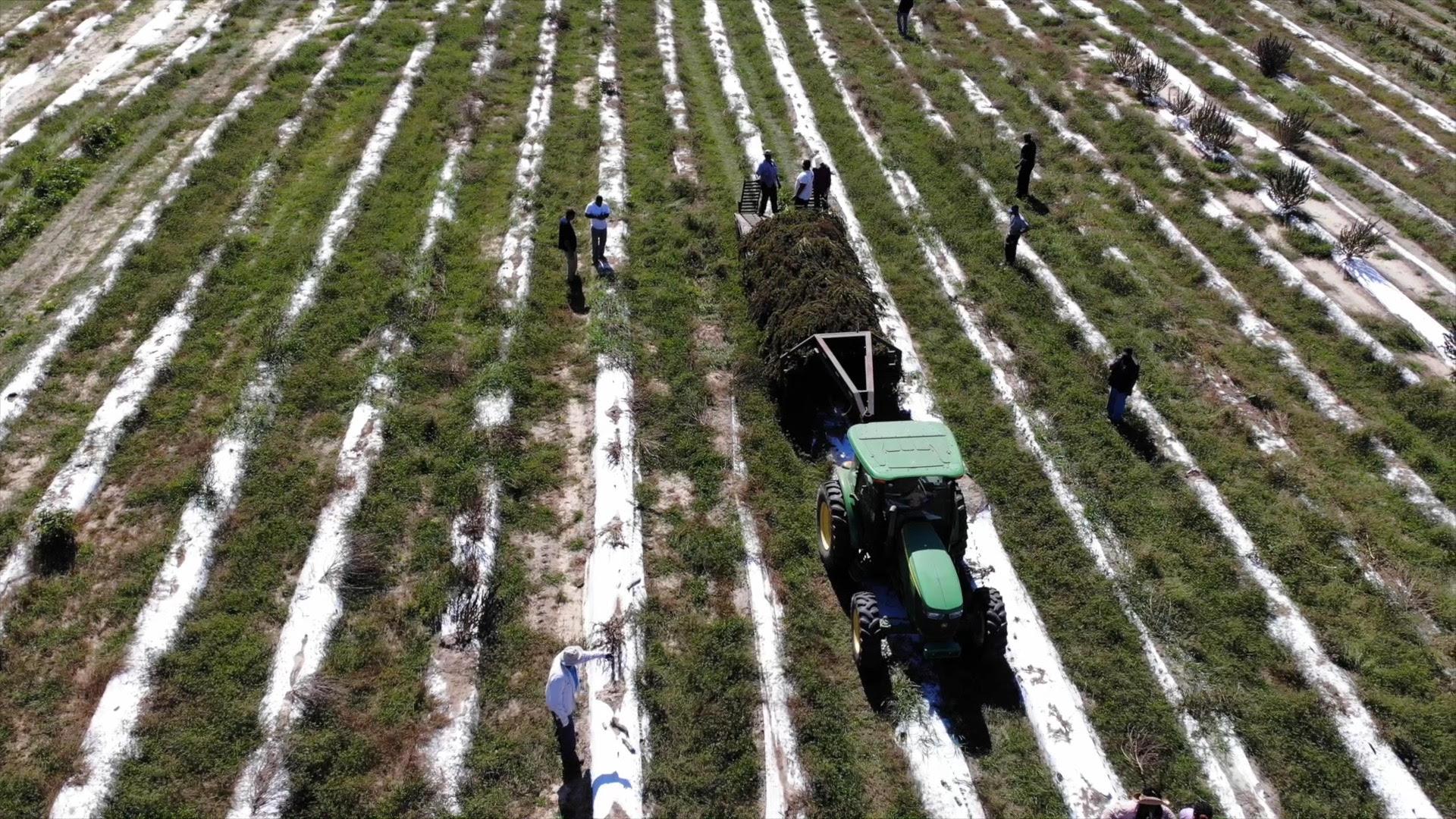Pretoria Fields Collective Celebrates Commercial Hemp Harvest