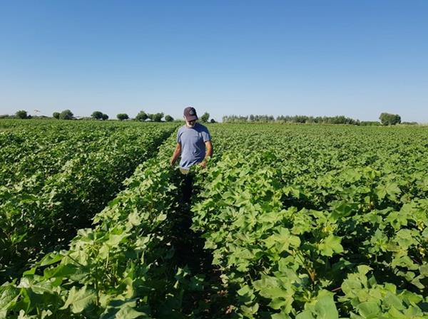 The Company's' Employee in a Cotton Field in Uzbekistan