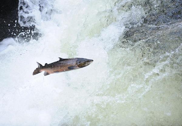 Atlantic salmon moving upstream to spawn © naturepl.com / Mike Potts / WWF
