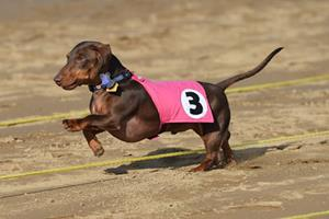 Belterra Park Gaming wiener dog races