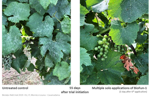 Fig. 2: Biotalys' innovative biofungicide, BioFun-1, is highly effective against powdery mildew in vines