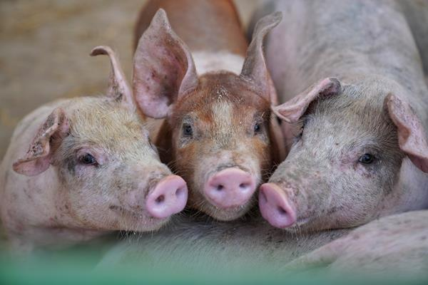 Niman Ranch pigs are raised on pasture or in deeply bedded pens sustainably and humanely by independent family farmers. Photo: Vincent and Holly Crawford