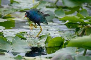 Andy Mann photographs wildlife in the Florida Everglades