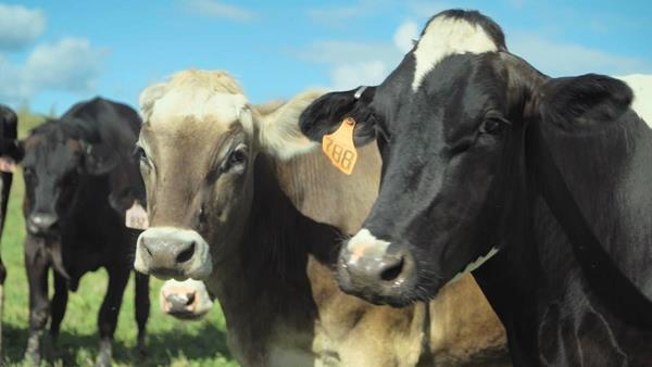 Farm to fondue. Kindred Creamery's happy, well-treated cows produce the highest standard of milk, which in turn produces superior cheese and cheese fondue in a sustainable manner.