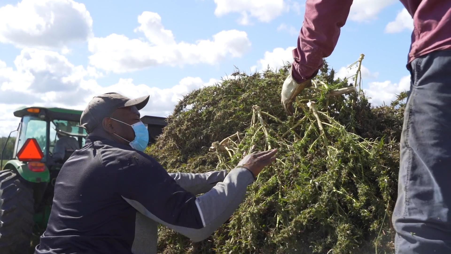 Georgia Farmers Harvesting First Commercial Hemp Crop In Georgia