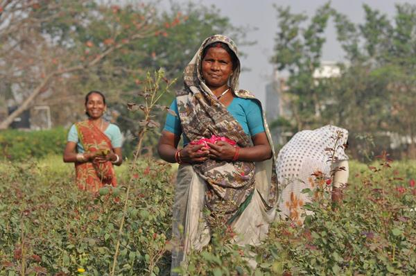 Organic India works with 266 small-scale farmers in the state of Uttar Pradesh in India.
