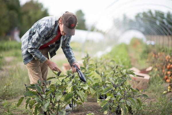 An employee in a garden picking eggplants