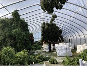 Harvest Update at Marijuana Company of America's CBD Hemp