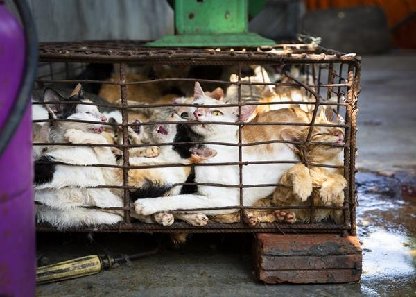Wholesalers keep the cats crammed into small cages for several days until they have collected enough animals to cover the costs of transport. Cats are transported over hundreds of miles without water, food, and sufficient ventilation to the slaughterhouses scattered throughout Vietnam.  Copyright: © FOUR PAWS