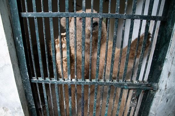 One of two bears kept in poor conditions at the Marghazar Zoo in Islamabad.  Copyright: © FOUR PAWS