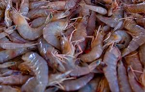 Commercially Caught Wild American Shrimp From Gulf of Mexico
