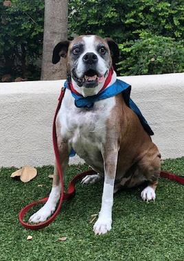 Roman became the 3,000th pet treated by PetCure Oncology on Wednesday, receiving advanced radiation therapy for his brain tumor