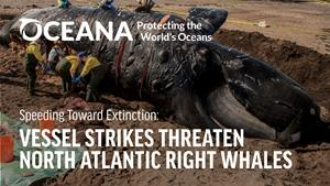 Oceana Finds Most Vessels Exceeding Speed Limits in Areas Designed to Protect Endangered North Atlantic Right Whales Along U.S. Atlantic Coast