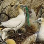 Seabirds and plastic