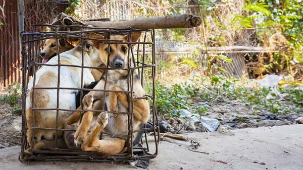 2019 03 09 | Dogs in cages in Kampong Cham, Cambodia. © FOUR PAWS