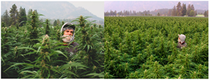 In total, more than 100 different proprietary cannabis strains are being cultivated outdoors by Christina Lake Cannabis in its 2021 growing season. This year's weather conditions have provided exceptional circumstances in which the cannabis plants have thrived, with several currently exceeding ten feet in height.