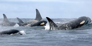 0_int_HollyFearnbach,NOAAnmmlweb-killerwhale-lrg-101.jpg