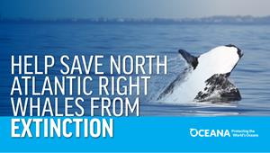 Help Save North Atlantic Right Whales