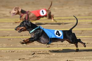 Belterra Park Gaming annual wiener dog races