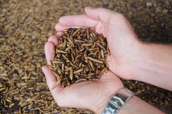 Whole Dried Larvae