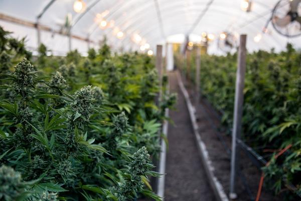 Cannabis irrigation system
