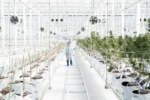 An HEXO employee walks between rows of cannabis plants during harvest.