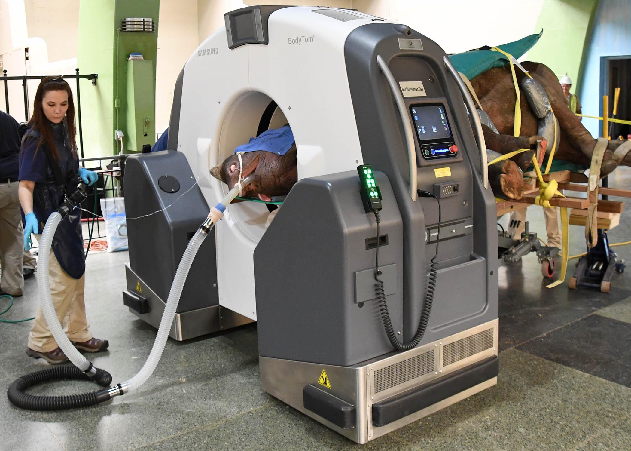 Eastern Black Rhinoceros, Layla, Undergoes CT Scan at Brookfield Zoo