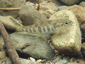 CAST Scientists Internationally Published for Largest ...Atlantic Salmon Parr