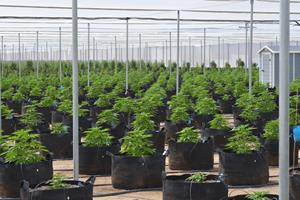 MJ Holdings Launches Second Outdoor Cannabis Grow | Seeking Alpha