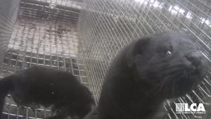 everyday life on a mink farm