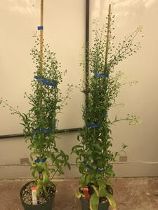 Yield10 Bioscience C3004 Yield Trait in Camelina Produces Increased Seed Yield