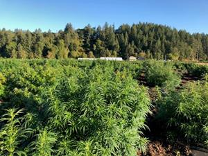 MCOA'S CBD HEMP OPERATION IN SCIO, OREGON