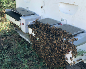 Honeybees emerging from a BVT hive