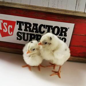 2019 Spring Chick Days